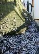 La pêche maritime, un levier pour le développement socio-économique de la région Dakhla-Oued Eddahab