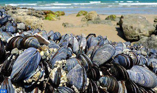 El Jadida: Interdiction de la commercialisation de tous les mollusques bivalves de la zone conchylicole classée Jmaa Ouled Ghanem-Dar Lhamra
