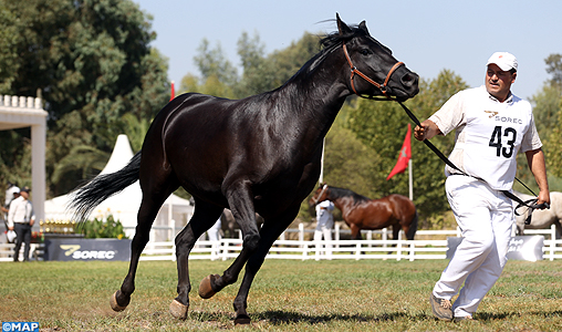 Meknès: Quelque 180 éleveurs au 2è concours inter-régional des chevaux Barbe et Arabe-Barbe
