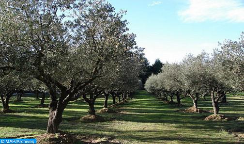 Tanger-Tétouan-Al Hoceima: Une production record d'olives attendue cette année (DRA)