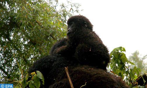 Kwita Izina, ou quand le pays des mille collines célèbre ses bébés gorilles