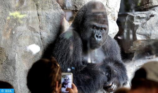 Les gorilles, une attraction très rentable au Rwanda