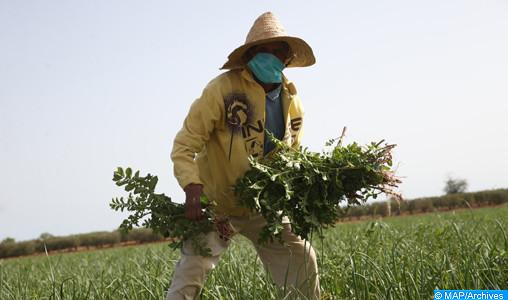 Béni Mellal-Khénifra sous la pluie, les agriculteurs retrouvent le goût du bon labeur