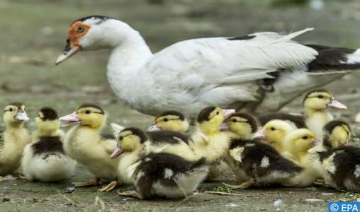 France: plus de 280 élevages contaminés par la grippe aviaire