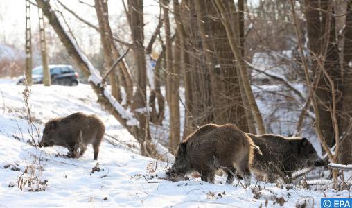 La Chine signale un nouveau cas de peste porcine africaine